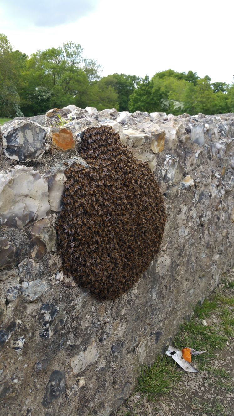 Swarm of bees at Donnington Castle