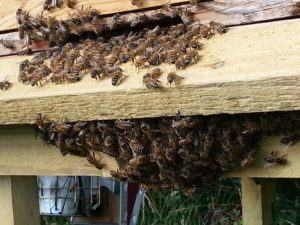 Bees fanning