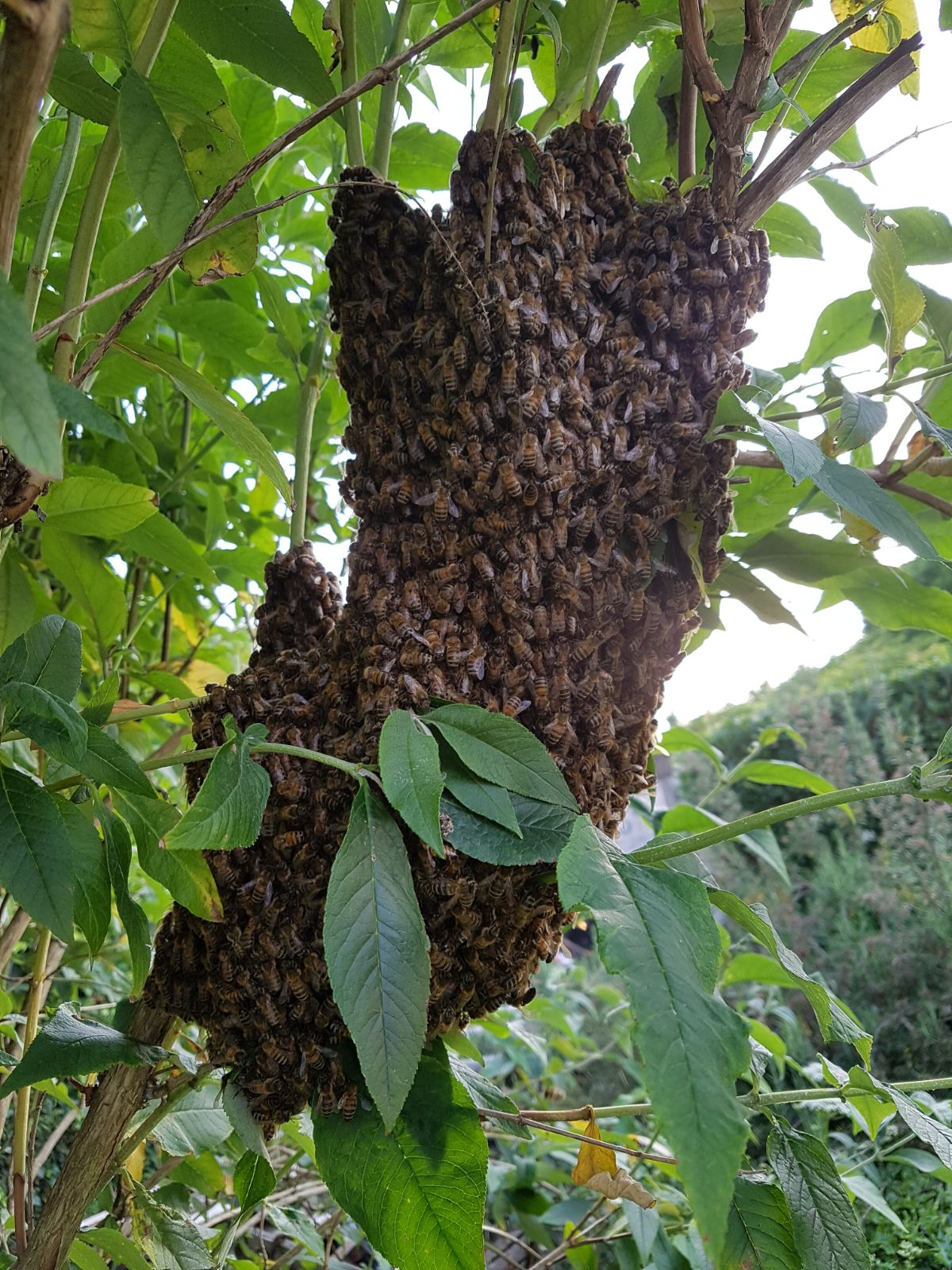 Swarm of bees on the tree