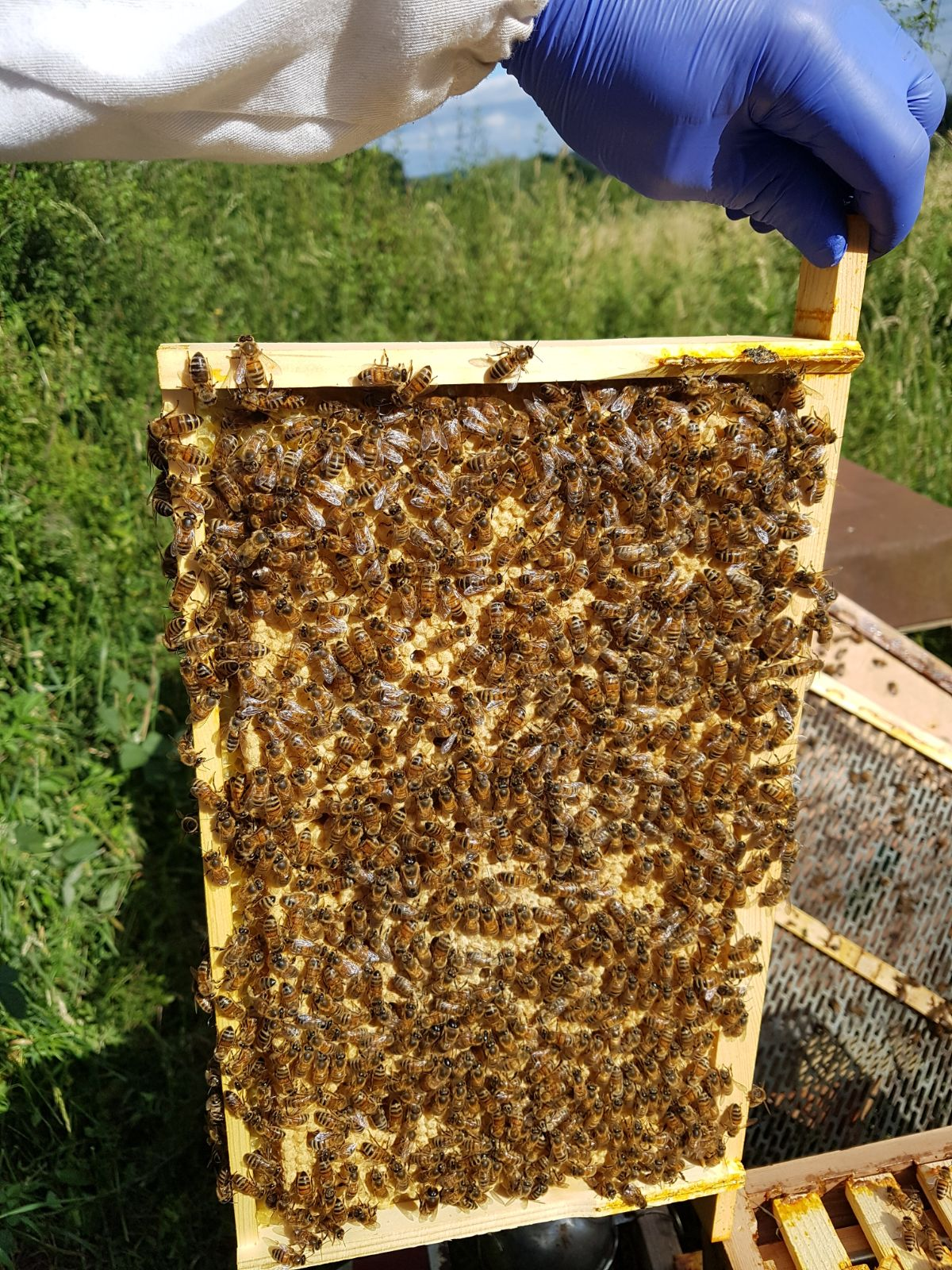 Frame of bees and brood